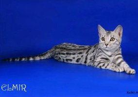 Бенгальский кот окрас серебро